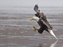 Skalliga Eagle Fish Grab royaltyfri foto
