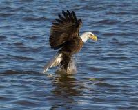 Skalliga Eagle Fishing i vinter Fotografering för Bildbyråer