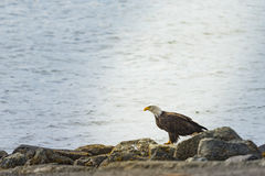 Skalliga Eagle fiske i havet Royaltyfri Bild