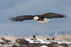 Skalliga Eagle flyg, Homer Alaska Arkivbilder