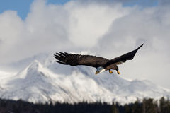 Skalliga Eagle flyg, Homer Alaska arkivfoto