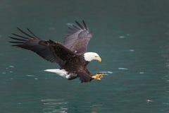 Skalliga Eagle flyg, Homer Alaska royaltyfri bild