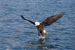 Skalliga Eagle flyg, Homer Alaska Arkivbild