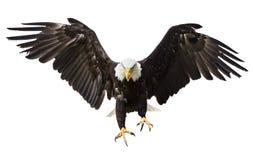 Skalliga Eagle flyg med amerikanska flaggan arkivbild
