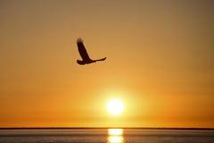 Skalliga Eagle flyg på solnedgången, Homer Alaska Arkivfoton