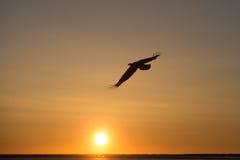 Skalliga Eagle flyg på solnedgången, Homer Alaska Arkivbild