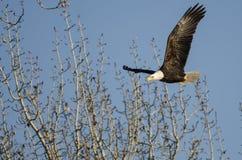 Skalliga Eagle Flying Among de karga vinterträden Fotografering för Bildbyråer