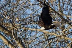 Skalliga Eagle Flying Past vinterträden royaltyfri foto