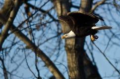 Skalliga Eagle Flying Past vinterträden arkivfoto