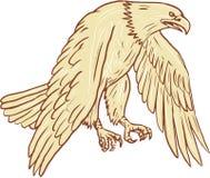 Skalliga Eagle Flying Wings Down Drawing Royaltyfri Fotografi