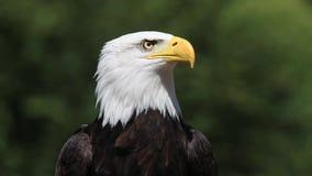 Skalliga Eagle, haliaeetusleucocephalus, stående av vuxet kalla som omkring ser, stock video