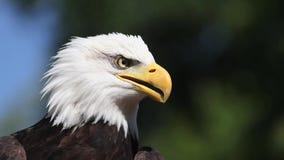 Skalliga Eagle, haliaeetusleucocephalus, stående av vuxna människan som omkring kallar och ser, lager videofilmer