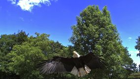 Skalliga Eagle, haliaeetusleucocephalus, vuxen människa i flykten arkivfilmer