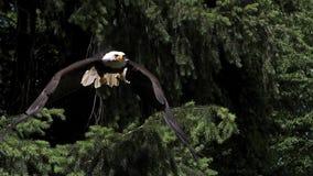 Skalliga Eagle, haliaeetusleucocephalus, vuxen människa i flykten som tar av från filial, stock video