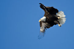 Skalliga Eagle Hunting On The Wing Royaltyfria Bilder