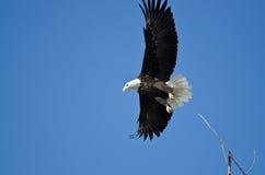Skalliga Eagle Hunting On The Wing Arkivbilder
