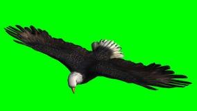 Skalliga Eagle i flugan - grön skärm Royaltyfri Bild