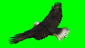 Skalliga Eagle i flugan - grön skärm Royaltyfri Fotografi