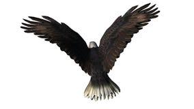 Skalliga Eagle i flugan - vit bakgrund Fotografering för Bildbyråer