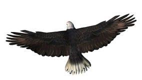 Skalliga Eagle i flugan - vit bakgrund Arkivfoto