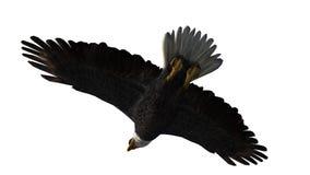 Skalliga Eagle i flugan - vit bakgrund Arkivbilder