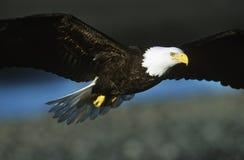 Skalliga Eagle i flykten Arkivfoto
