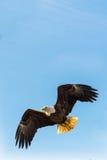 Skalliga Eagle i mitt- flyg arkivbild