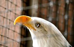 Skalliga Eagle i rehabiliteringmitt Royaltyfri Bild