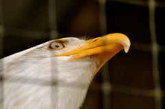 Skalliga Eagle i rehabiliteringmitt Royaltyfria Foton