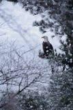 Skalliga Eagle i snöstorm royaltyfria foton