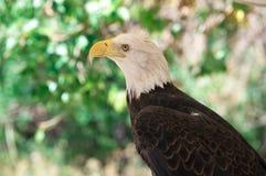 Skalliga Eagle Looking arkivbilder