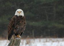 Skalliga Eagle Looking på dig Fotografering för Bildbyråer