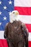 Skalliga Eagle med amerikanska flaggan Arkivfoton