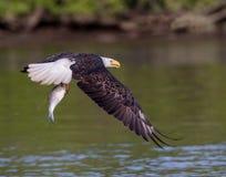 Skalliga Eagle med den nya fisken Arkivfoto
