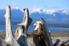Skalliga Eagle med en sikt Arkivbilder
