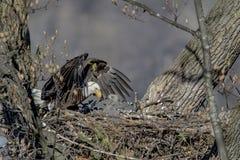 Skalliga Eagle med henne behandla som ett barn Royaltyfri Bild