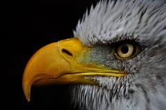 Skalliga Eagle med svart bakgrund Arkivfoto