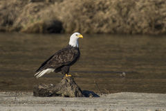 Skalliga Eagle Near River royaltyfria bilder