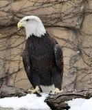 Skalliga Eagle på den snö täckte sittpinnen Arkivbilder