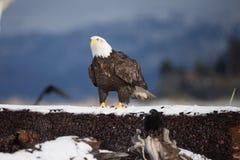 Skalliga Eagle på jordning i Alaska royaltyfri bild