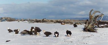 Skalliga Eagle på jordning i Alaska royaltyfri foto