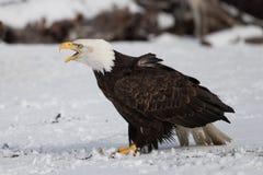 Skalliga Eagle på jordning i Alaska arkivfoton