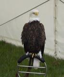 Skalliga Eagle på ställning Royaltyfri Bild
