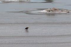 Skalliga Eagle på vatten fotografering för bildbyråer