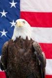 Skalliga Eagle sammanträde med amerikanska flaggan Royaltyfri Bild
