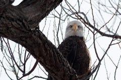 Skalliga Eagle sammanträde på en filial Arkivbilder