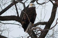 Skalliga Eagle sammanträde på en filial Royaltyfri Fotografi