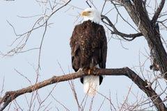Skalliga Eagle sammanträde på en filial Fotografering för Bildbyråer