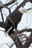 Skalliga Eagle sammanträde på en filial Royaltyfria Bilder