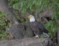 Skalliga Eagle sammanträde på en journal Fotografering för Bildbyråer